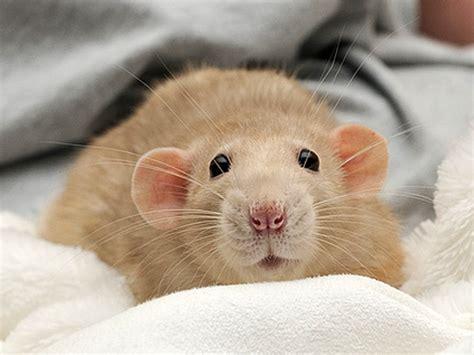 imagenes de ratas halloween ratones ratas y chinchillas son buenas como mascotas
