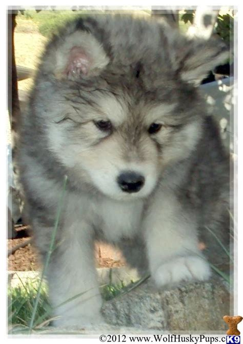 wolf husky puppies for sale husky wolf mix puppies for sale quotes