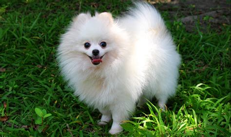 small pomeranian dogs pomeranian breed information pets world