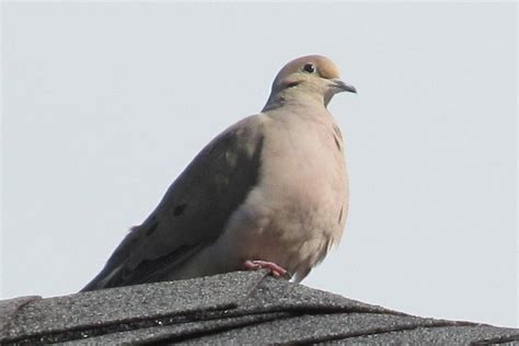 pets and other critters mourning doves