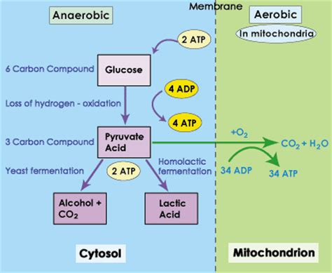 how photosynthesis yields sugar concept map sparknotes glycolysis anaerobic respiration homolactic