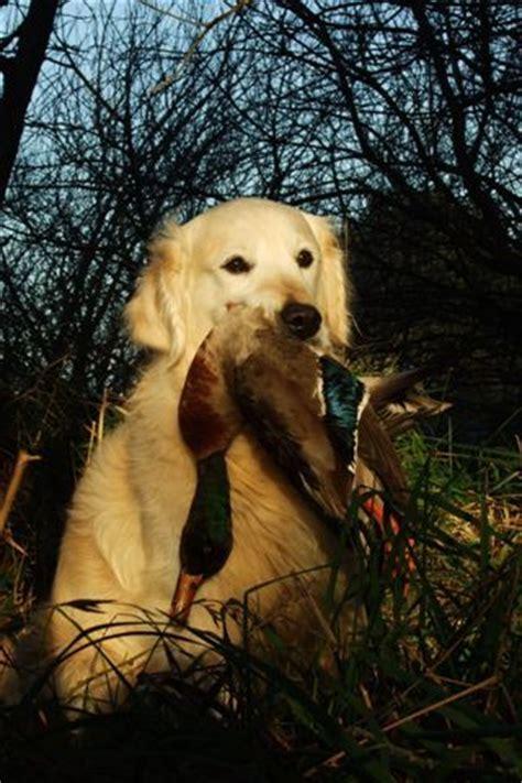 field trial golden retriever puppies southern golden retriever club field trials