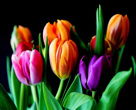 tulip colors free images petal tulip bouquet color colorful pink