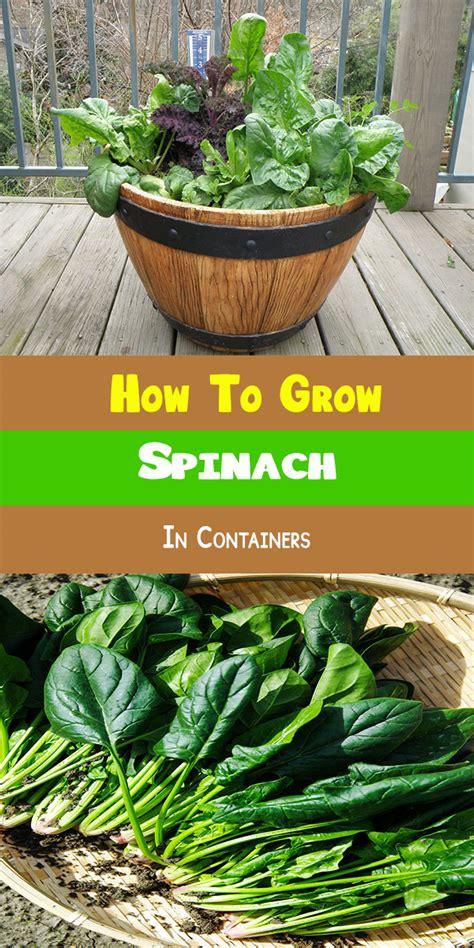container gardening spinach codai