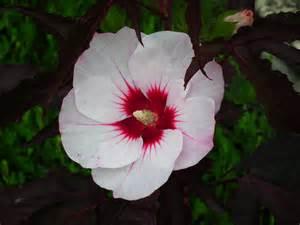 Superbe Arbuste Persistant A Fleur #4: 08315318-photo-hibiscus-joli-coeur.jpg