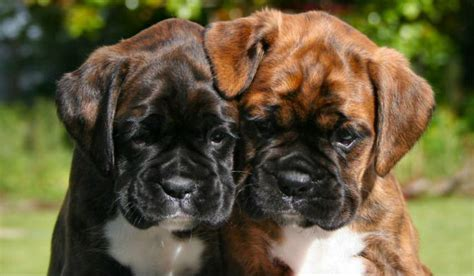 boxer puppies ta boxer apparel teespring