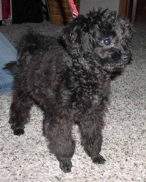 pomapoo haircuts haircuts for pomapoos black pomapoo puppies