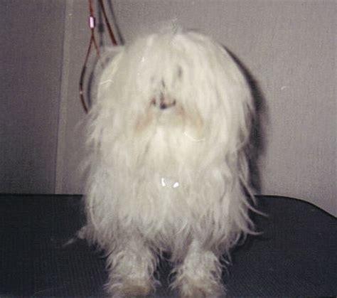 havanese grooming pictures havanese grooming photos