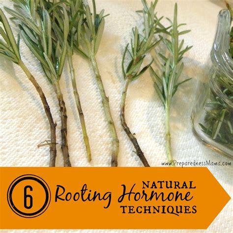 6 ways to make natural rooting hormone preparednessmama