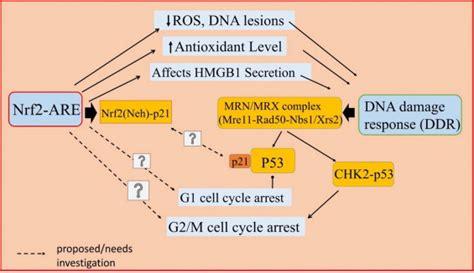 proposed crosstalk   nrf  pathway hmgb