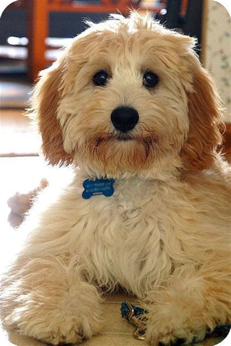 golden retriever havanese mix goldendoodle golden retriever poodle mix http animalfunnymemes