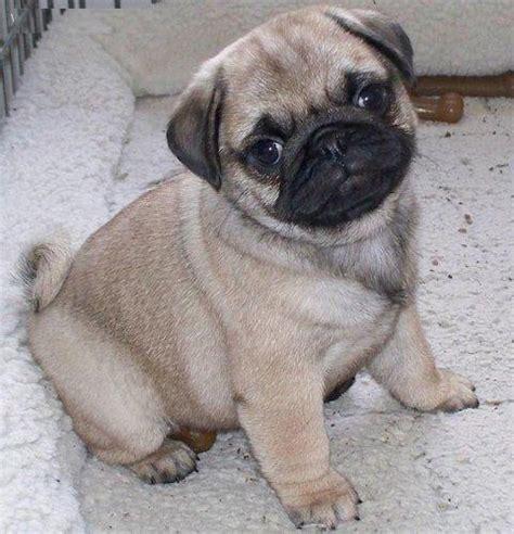 pug puppies price in mumbai pug puppies for sale vaishnavi 1 7724 dogs for sale price of puppies dogspot in