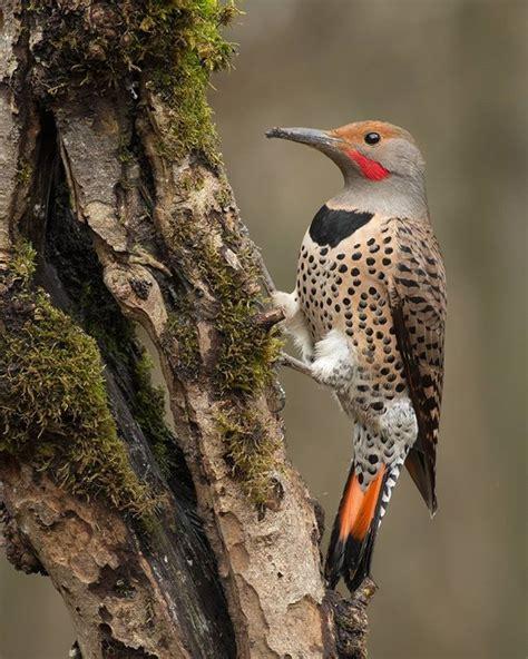 common woodpecker   british columbia