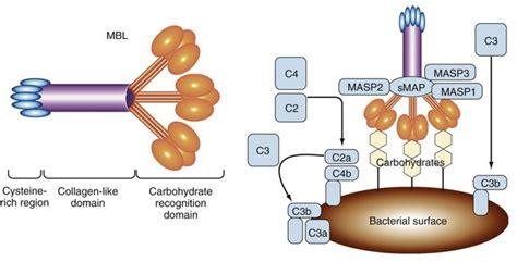 pattern recognition receptor lectin innate immunity musculoskeletal key