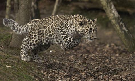 leopard s blood a leopard novel leopards return to caucasus stories wwf