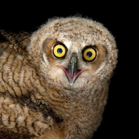 Setelan Baby Pay Owl great horned owl national geographic