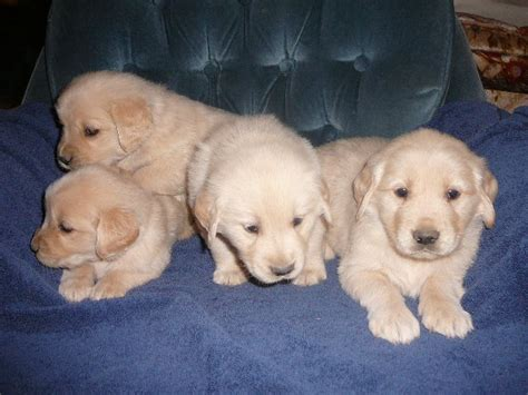 golden retriever puppies just born golden retriever pups born dec 11 chiricahua retrievers