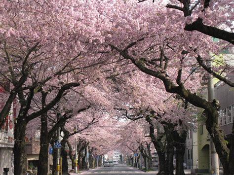 imagenes de sakura japon d 237 a de las flores de sakura さくらの日 sakura no hi en una