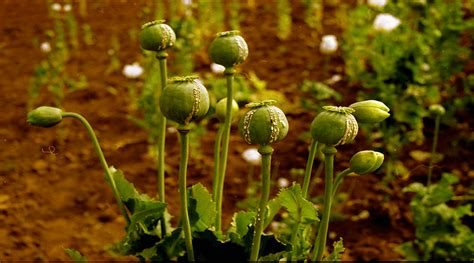 Opium Detox by Opium Addiction Effects And Precautions Healthncure Org