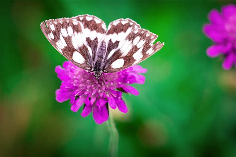 white brown butterfly perched  pink flower  stock