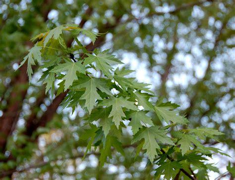file maple leaves jpg file silver maple acer saccharinum leaves 2598px jpg