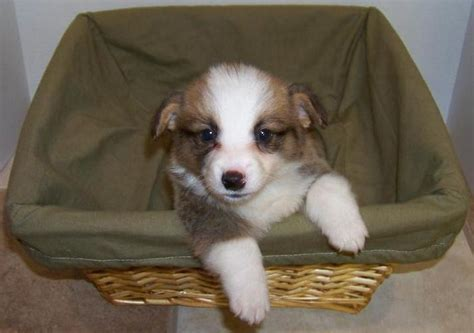 corgi puppy cost arkansas corgis corgi puppies randall s pembroke corgis