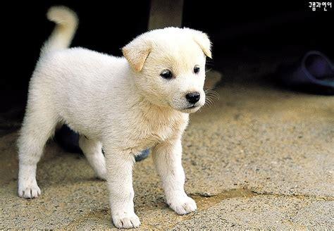 jindo puppies jindo puppy animals