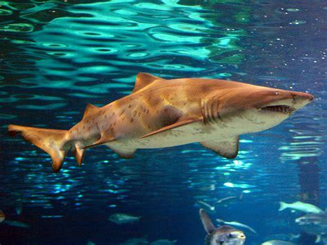 imagenes de tiburones wallpaper especies