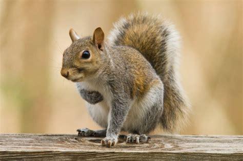 squirrel removal a plus wildlife control