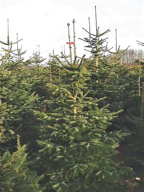 christmas tree farmers growing nordmann fir asked to look