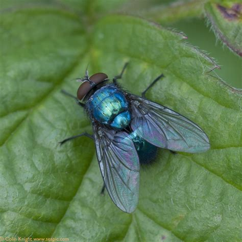 blue fly by ii bluebottle infestation after dead mouse rat