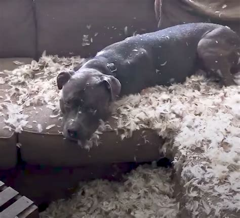 mom couch dog shreds the couch and mom can t help but laugh through