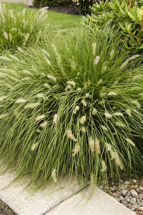 top 28 small decorative grasses ornamental grasses grndoordesign small ornamental grass