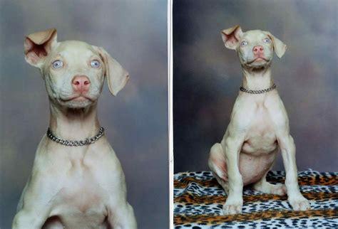 white doberman puppies white doberman pinscher dogs