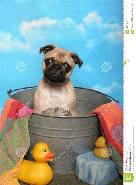 pugs in bath pug in a bath tub stock photography image 24161282