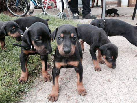 doberman puppies for sale mn doberman puppies for sale located in opole mn 400 450 animal