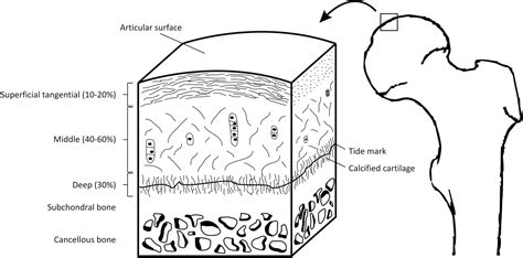 cartilage diagram the physiology of sports injuries and repair processes