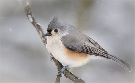 tufted titmouse pgt nature garden