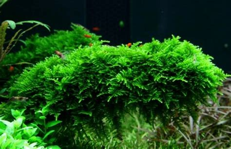 Tanaman Aquascape Moss cara menanam berbagai jenis tanaman aquascape atagaleri net