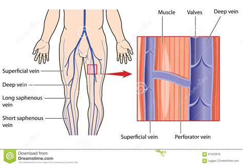 vene varicose interne vene profonde e superficiali della gamba illustrazione