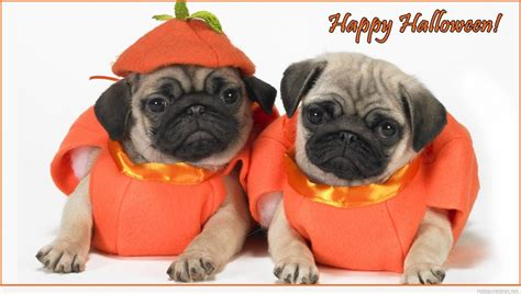 happy pug puppy images images