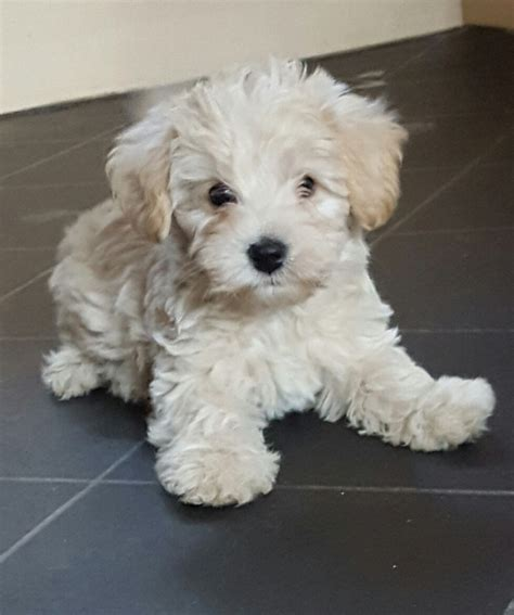 Gorgeous Westiepoo Puppies Sunderland Tyne And Wear Pets4homes