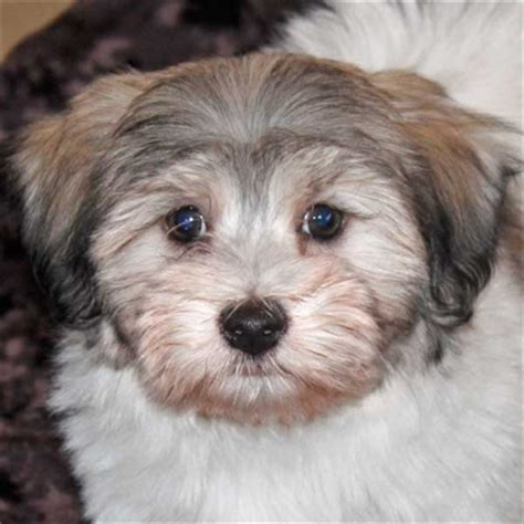 teacup havanese puppies for sale in illinois teacup and morkie puppies for sale in south florida for sale in breeds picture