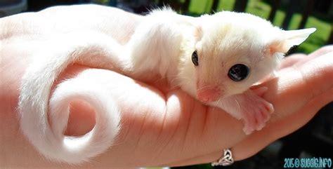 sugar glider bedding cute animals on pinterest kittens mice and sugar gliders