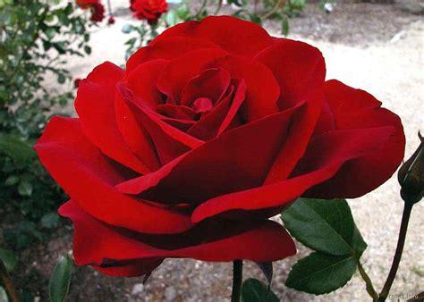 imagenes bellas rojas rosas rojas taringa