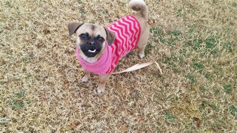 lola pug lola chihuahua pug puppy m a i n animals in need rescue in