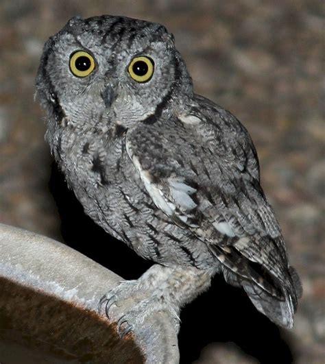 owls arizona bird watcher