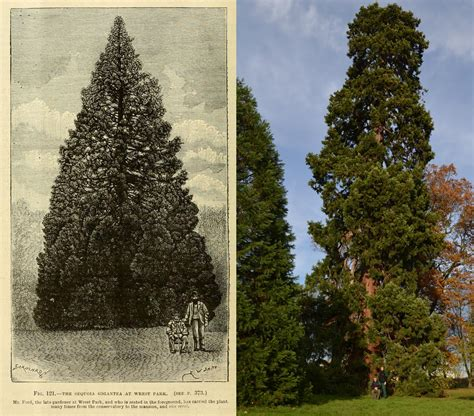 is this 158 year old redwood the uk s oldest living