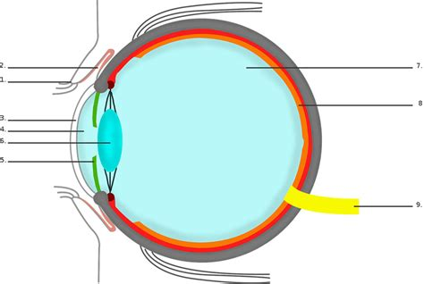 Beschriftung Des Auges by Das Auge Lernen