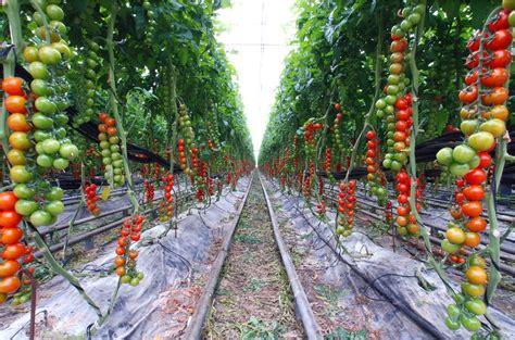 tomato garden ideas creative vegetable garden ideas